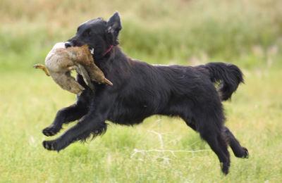 Grousemoor, Flat-Coated Retrievers, Puppies, Breeder, Michigan